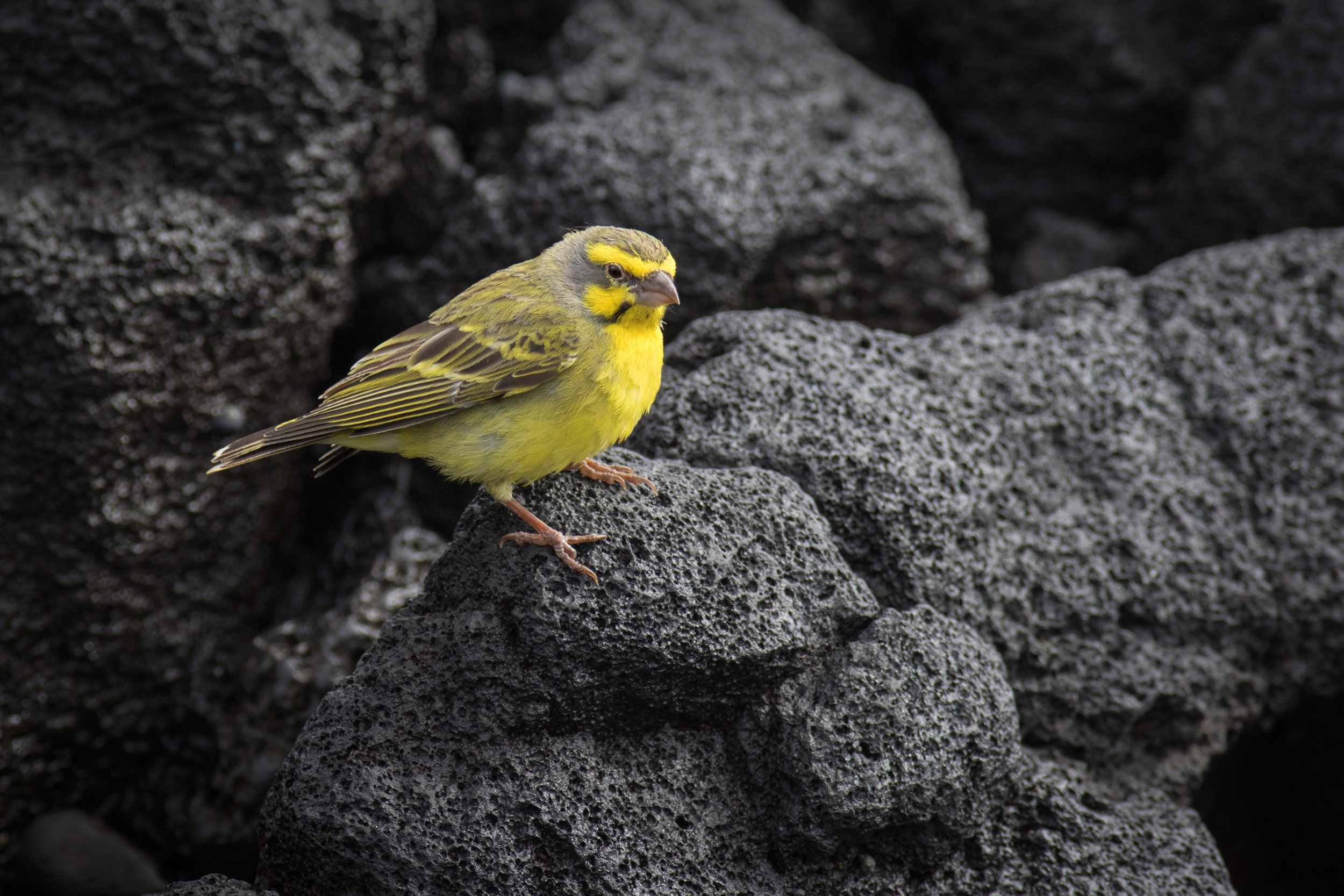Yellow-fronted-Canary_C76A6260-2.jpg
