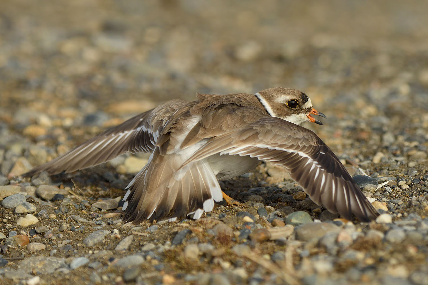 Semi-palmated Plover - © John Crawley