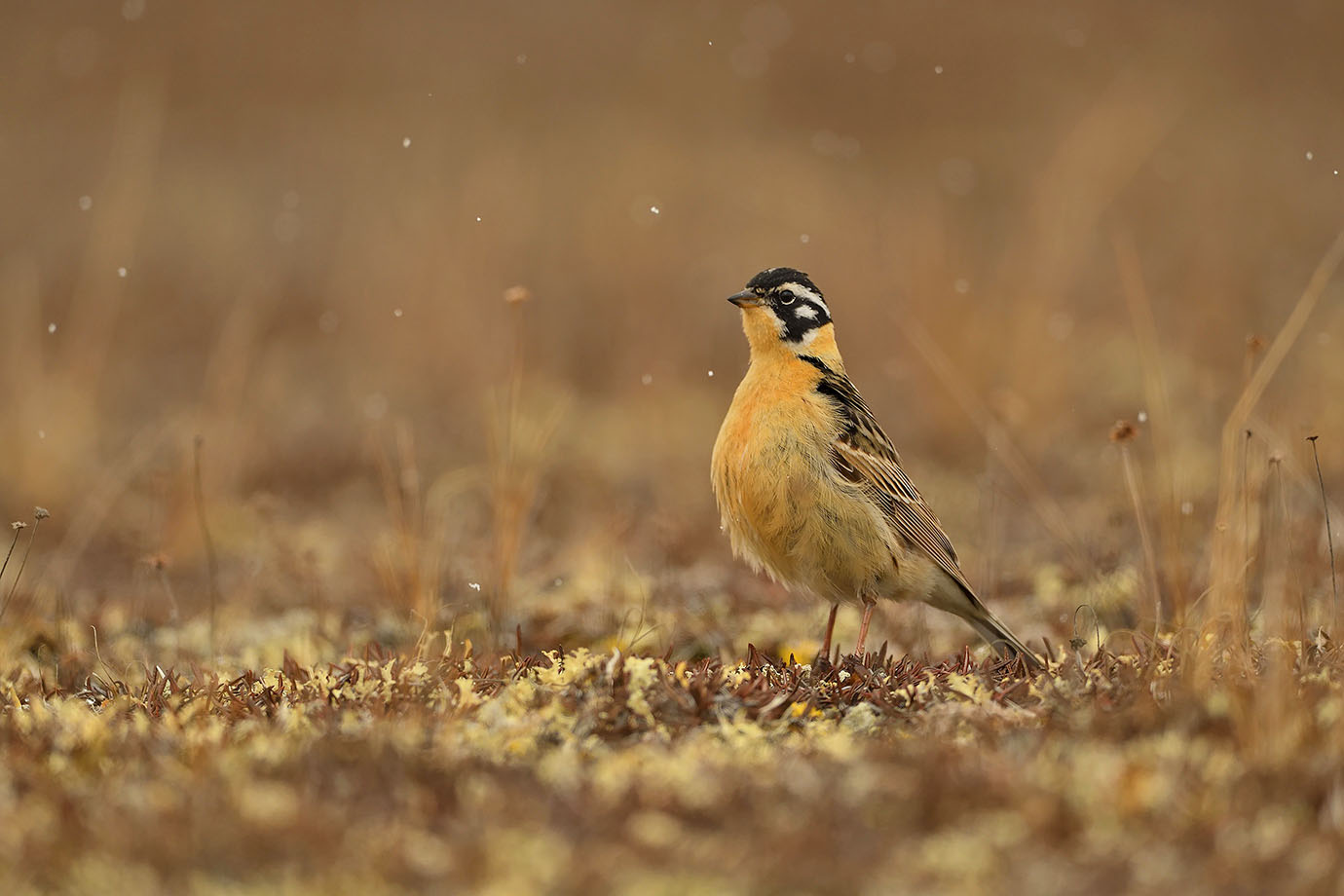 Smith's Longspur - © John Crawley