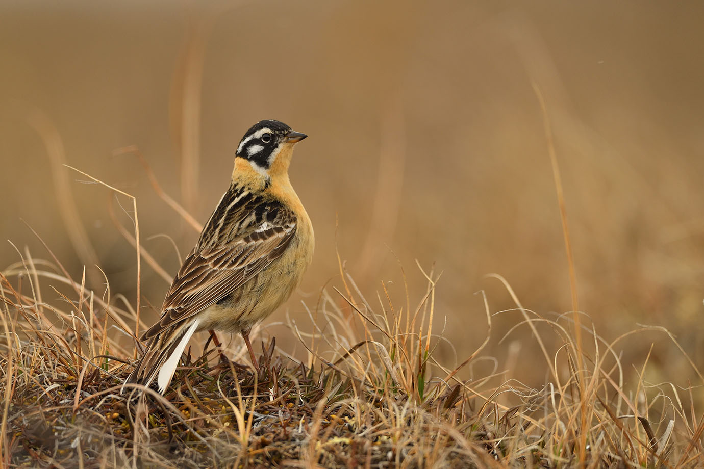 Smith's Longspur © John Crawley