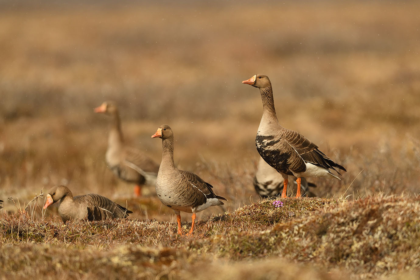 Greater White-fronted Goose - © John Crawley