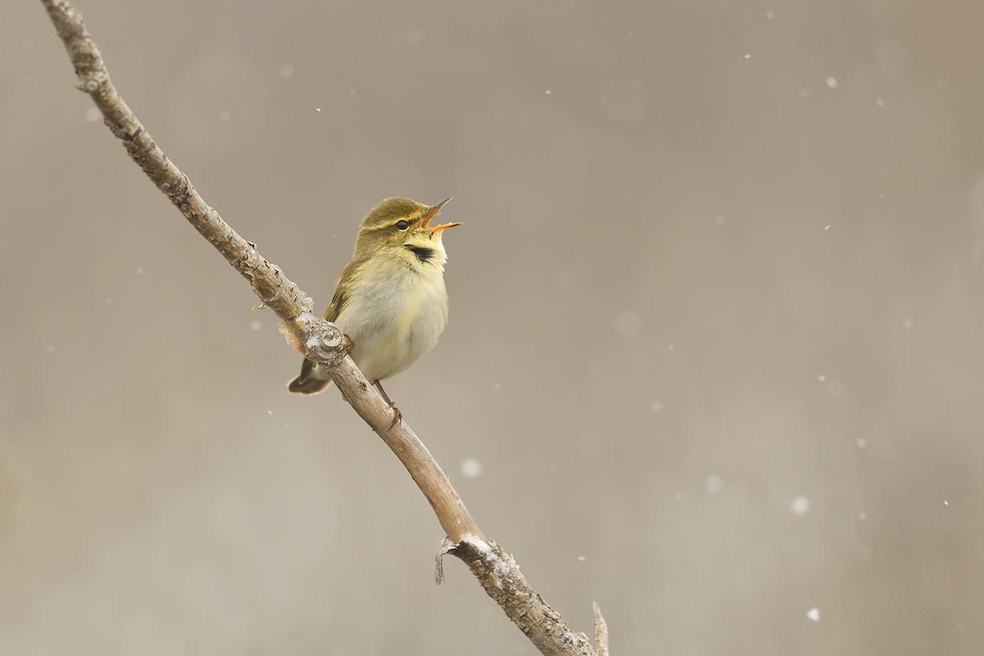 Arctic Warbler - © John Crawley