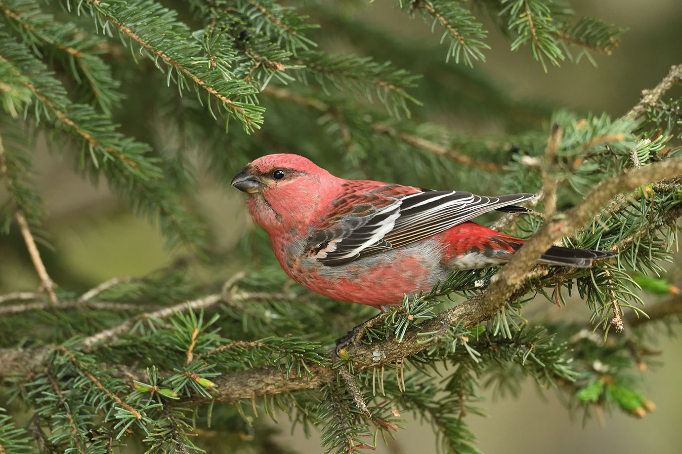 Pine Grosbeak - © John Crawley