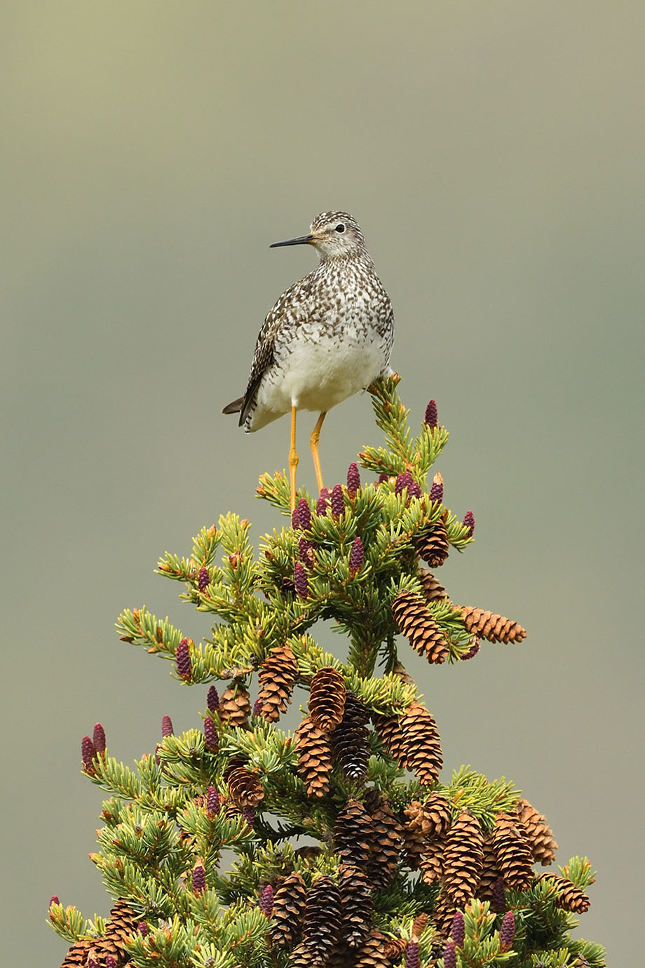 Lesser Yellowlegs - © John Crawley