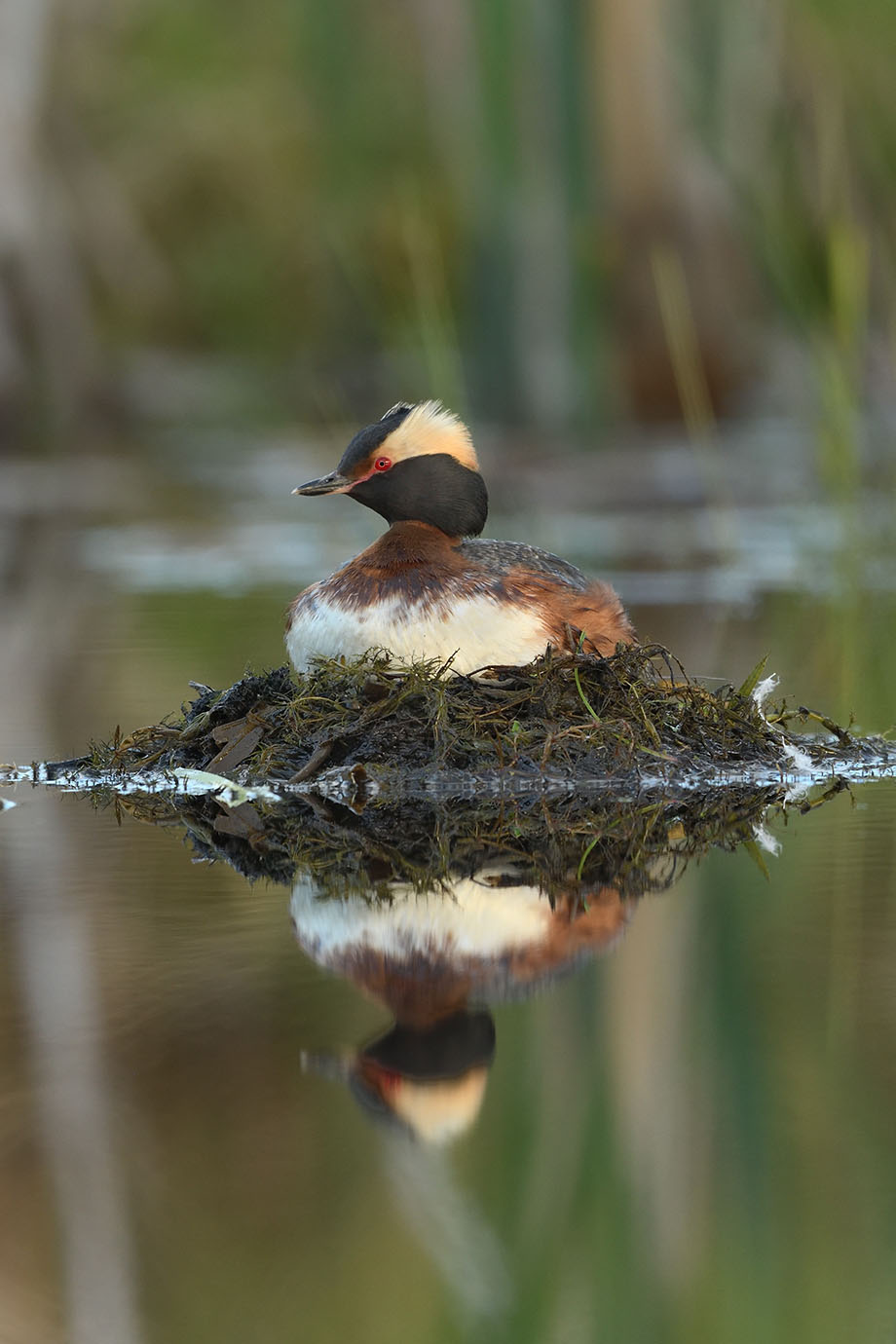 Horned Grebe - © John Crawley