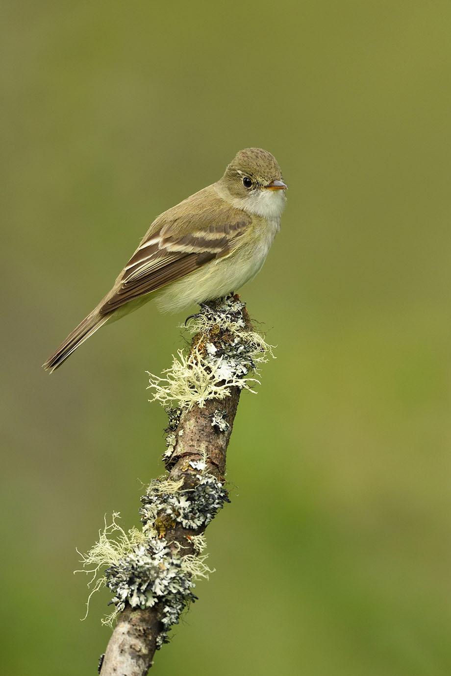 Alder Flycatcher - © John Crawley