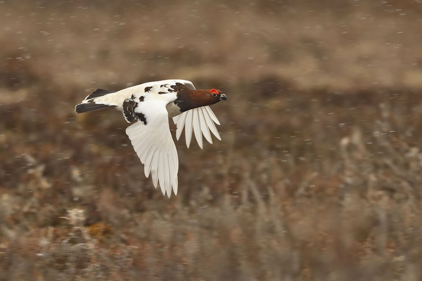 Willow Ptarmigan - © John Crawley