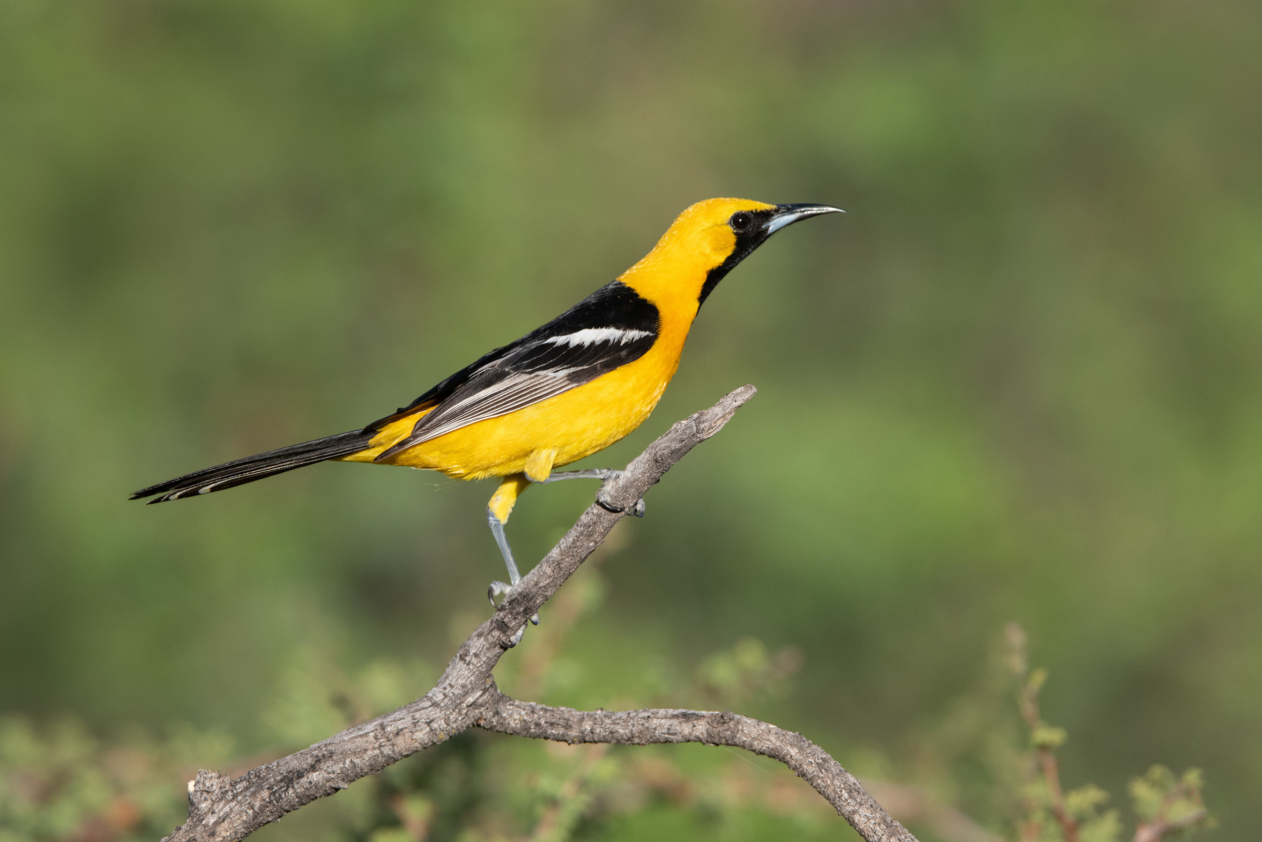 hooded_oriole_4817b35.jpg