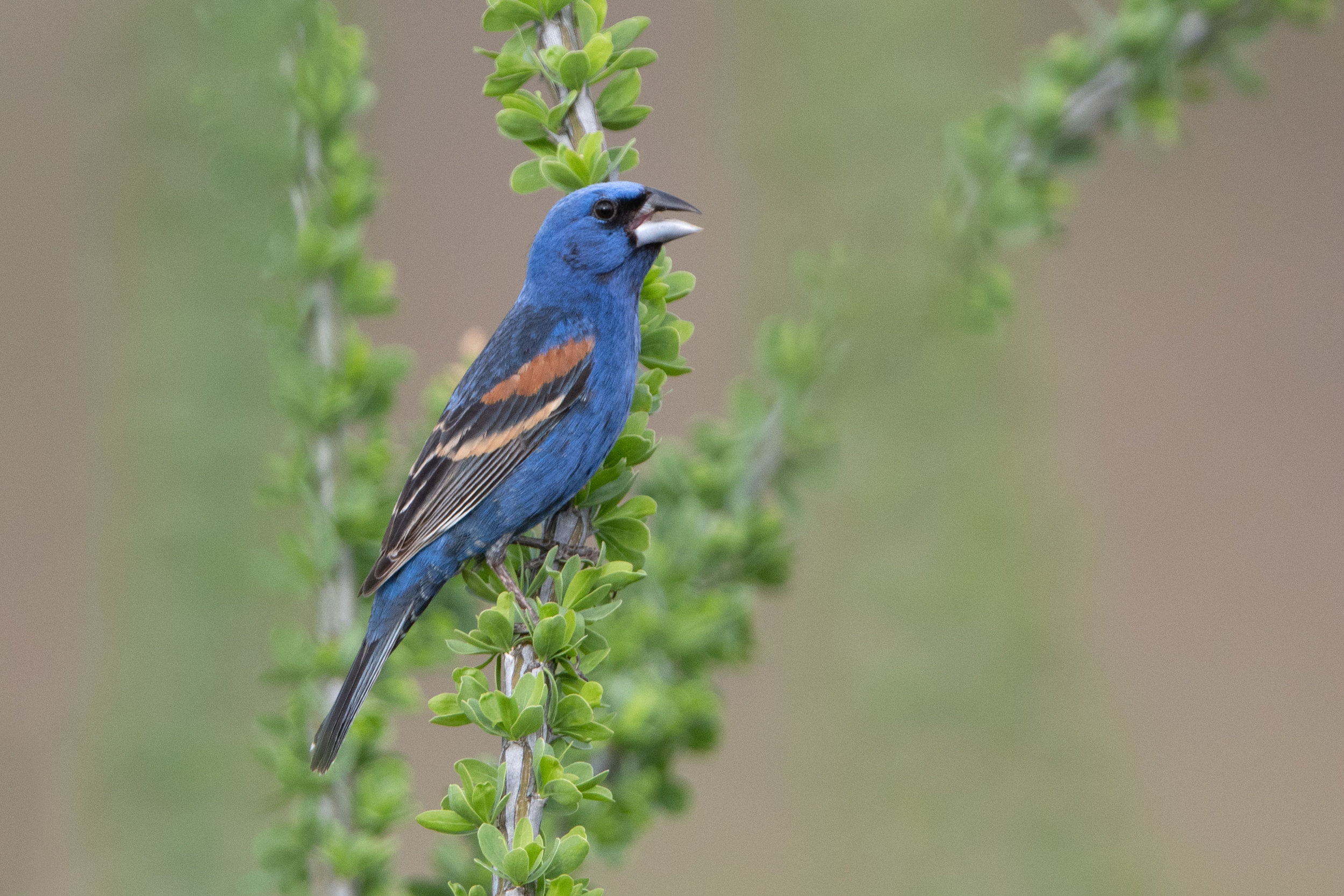 blue_grosbeak_3754.jpg