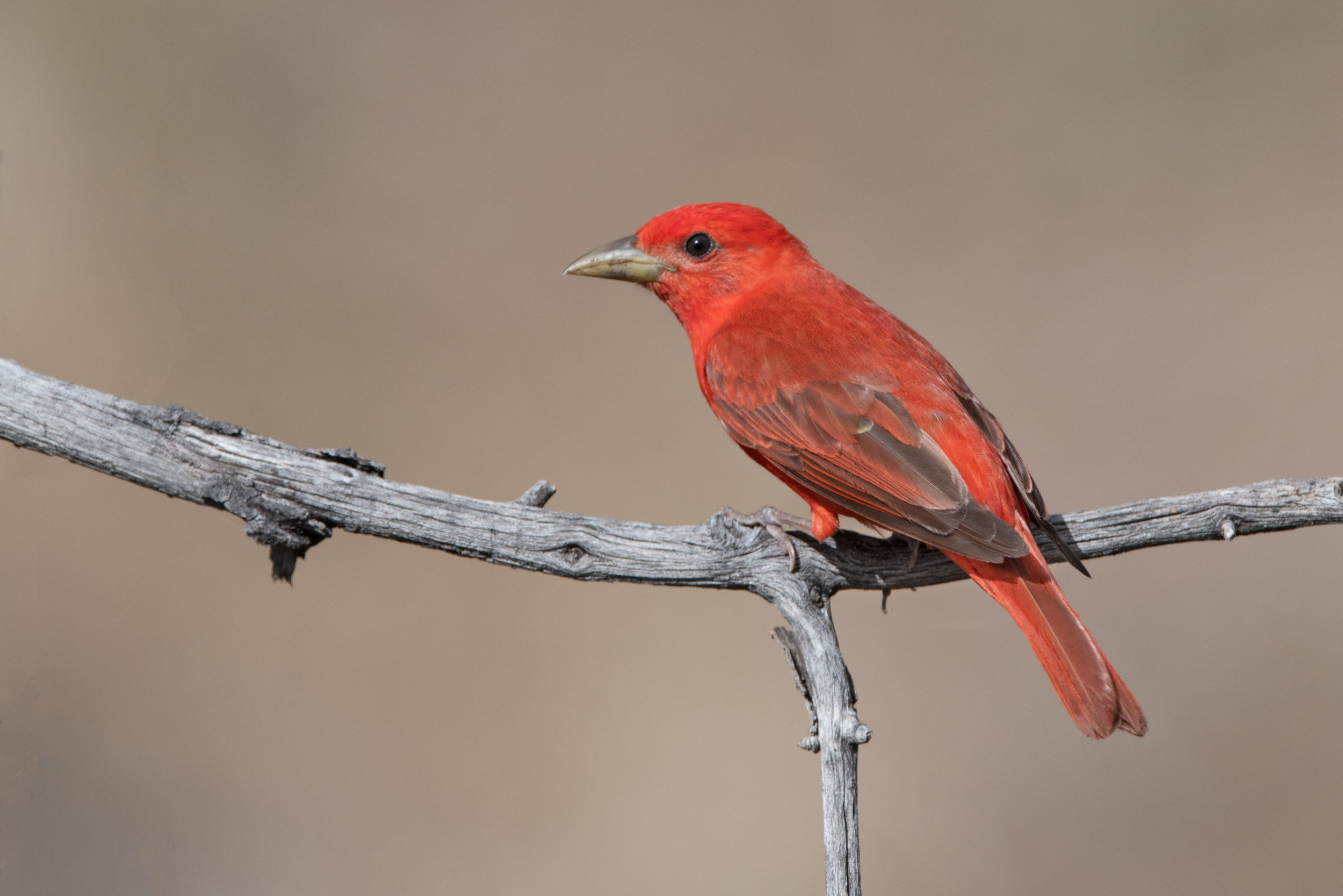 summer_tanager_3640b.jpg