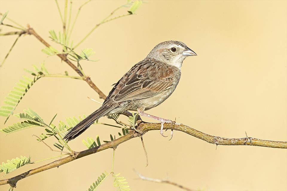 Copy of Botteri's Sparrow © Tony Temple
