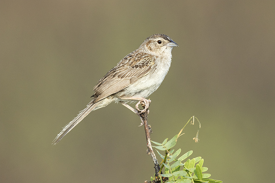 Cassin's Sparrow © Tony Temple