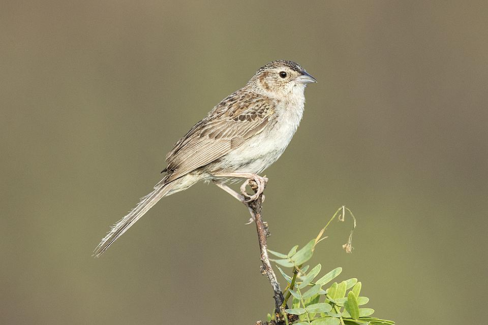 Copy of Cassin's Sparrow © Tony Temple