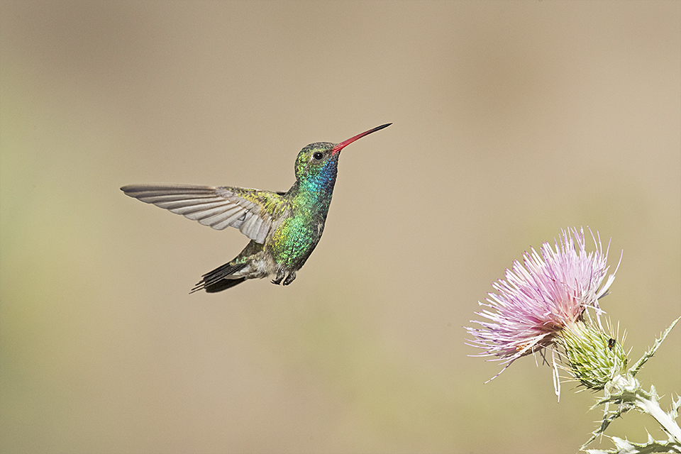 Broad-billed Hummingbird © Tony Temple