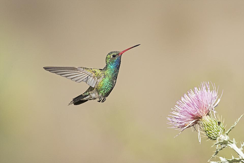 Copy of Broad-billed Hummingbird © Tony Temple