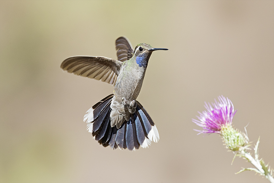 Blue-throated Hummingbird © Tony Temple