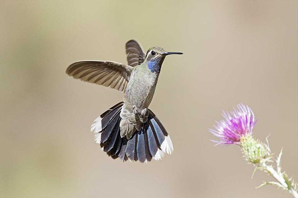 Copy of Blue-throated Hummingbird © Tony Temple
