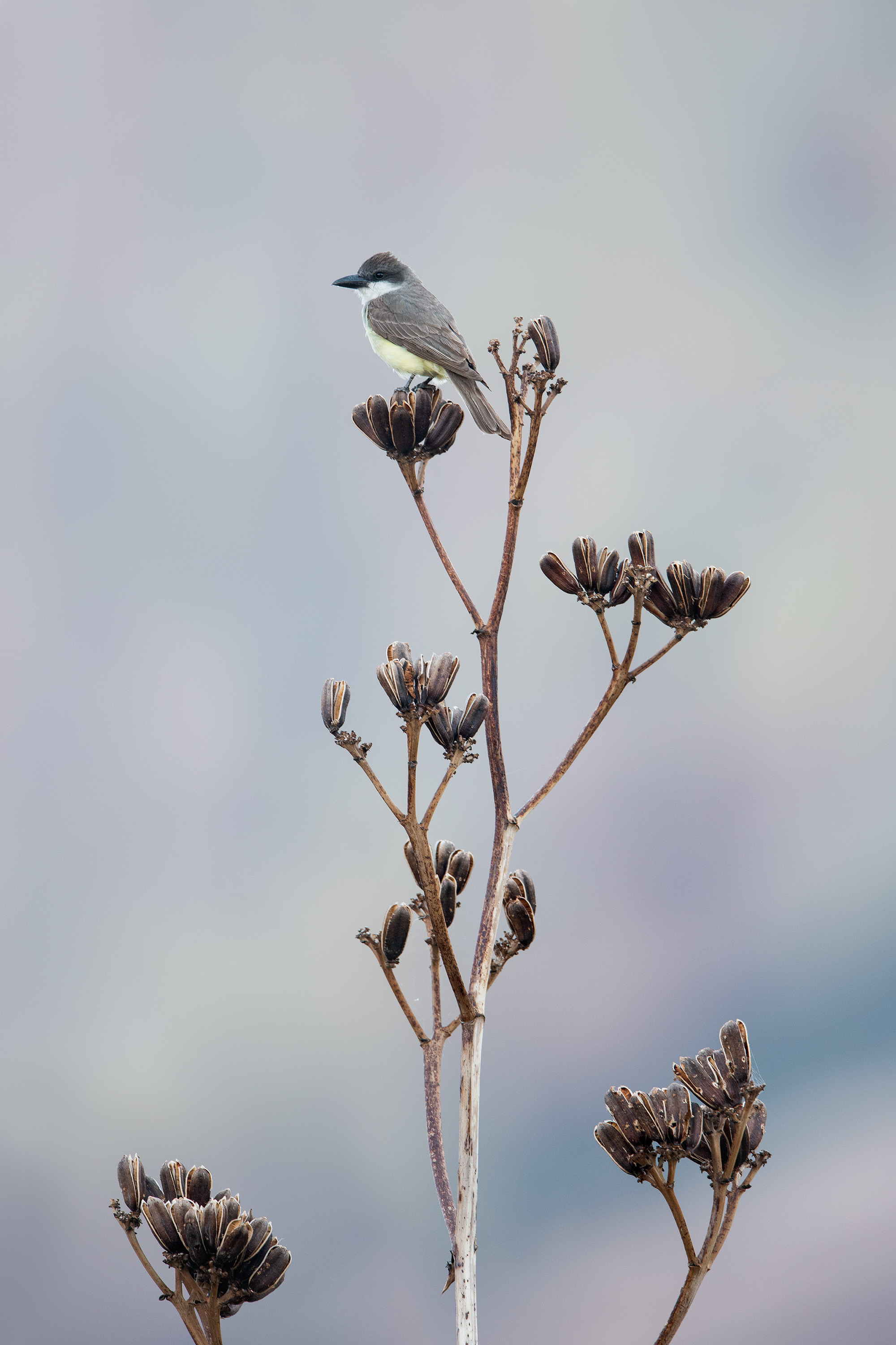 thick-billed_kingbird_4739x3k.jpg