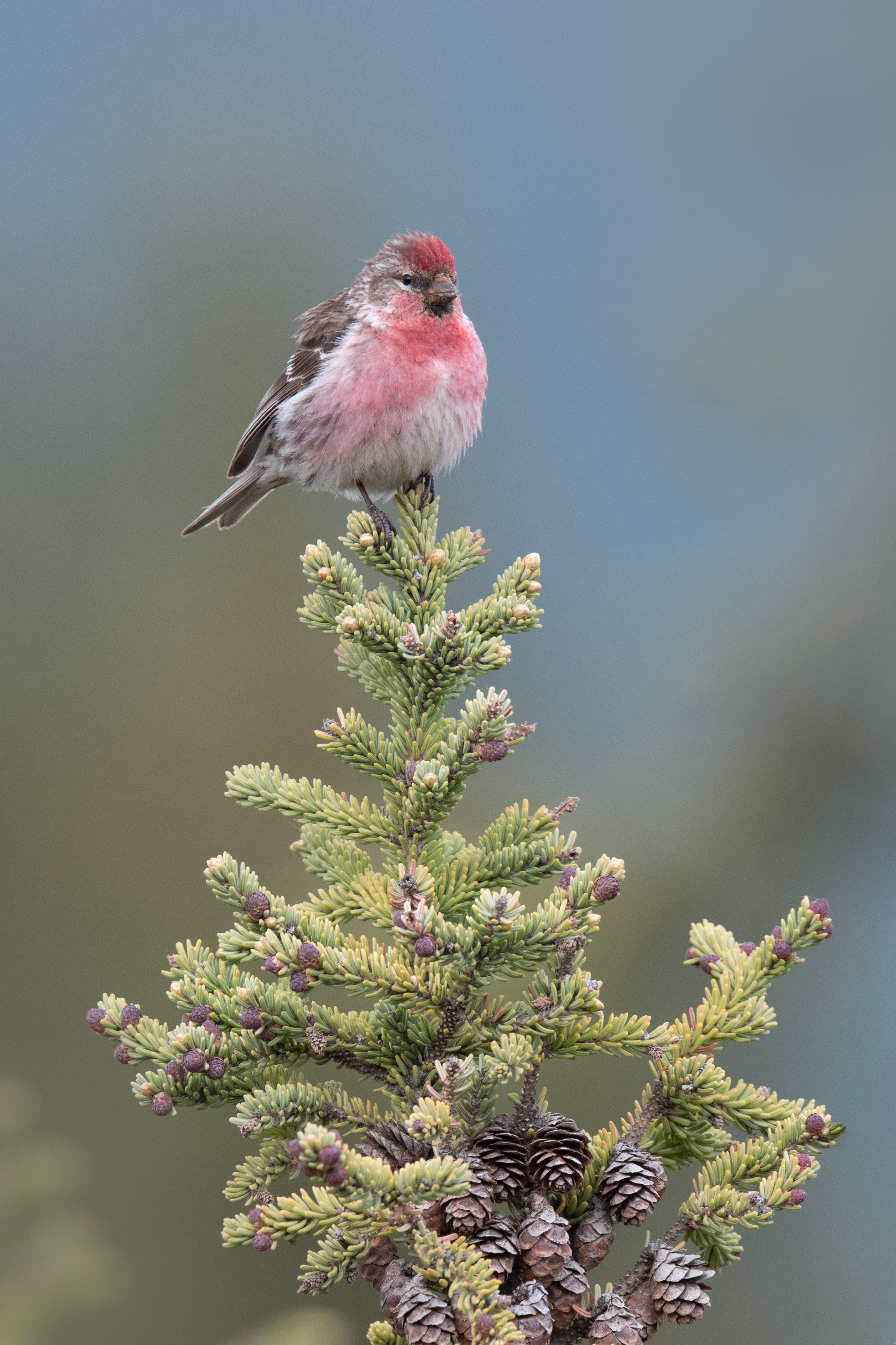 common_redpoll_8926b.jpg