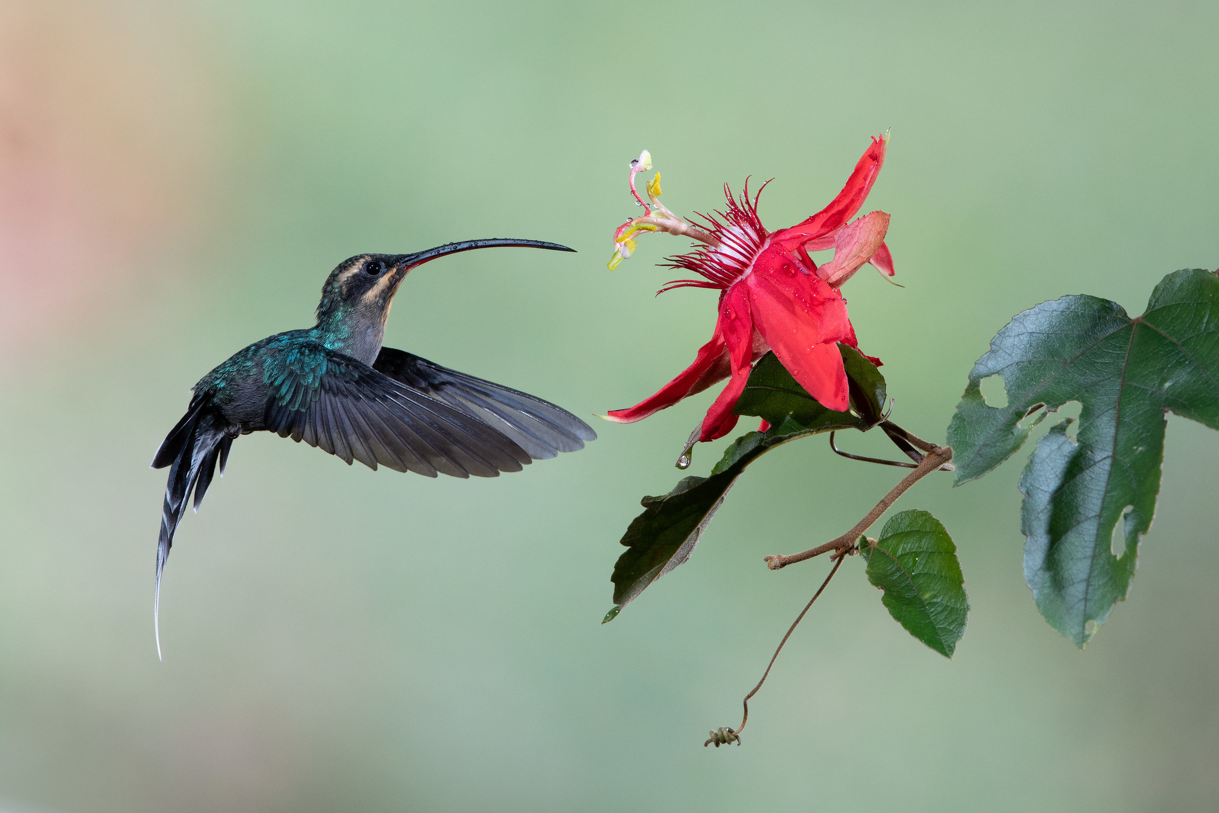 hermit_hummingbird_001_0983.jpg
