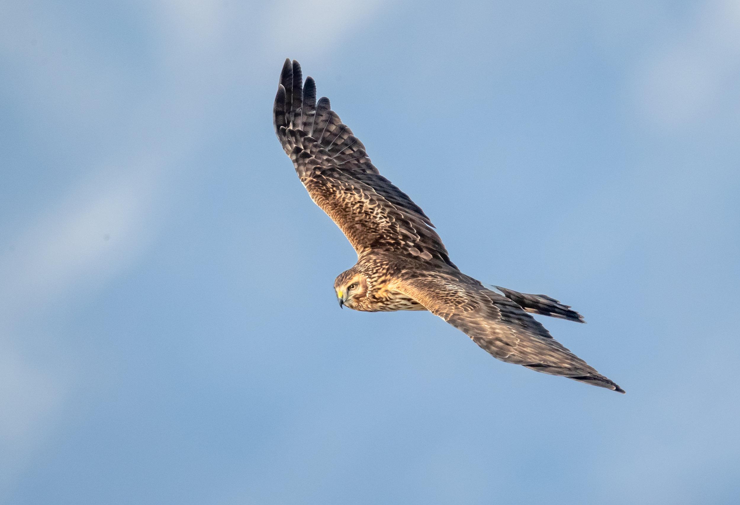 Northern Harrier © Greg Barsh