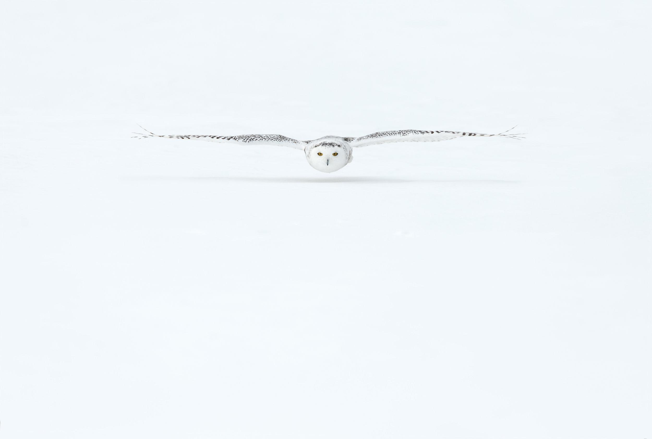 snowy_owl_002_2835b.jpg