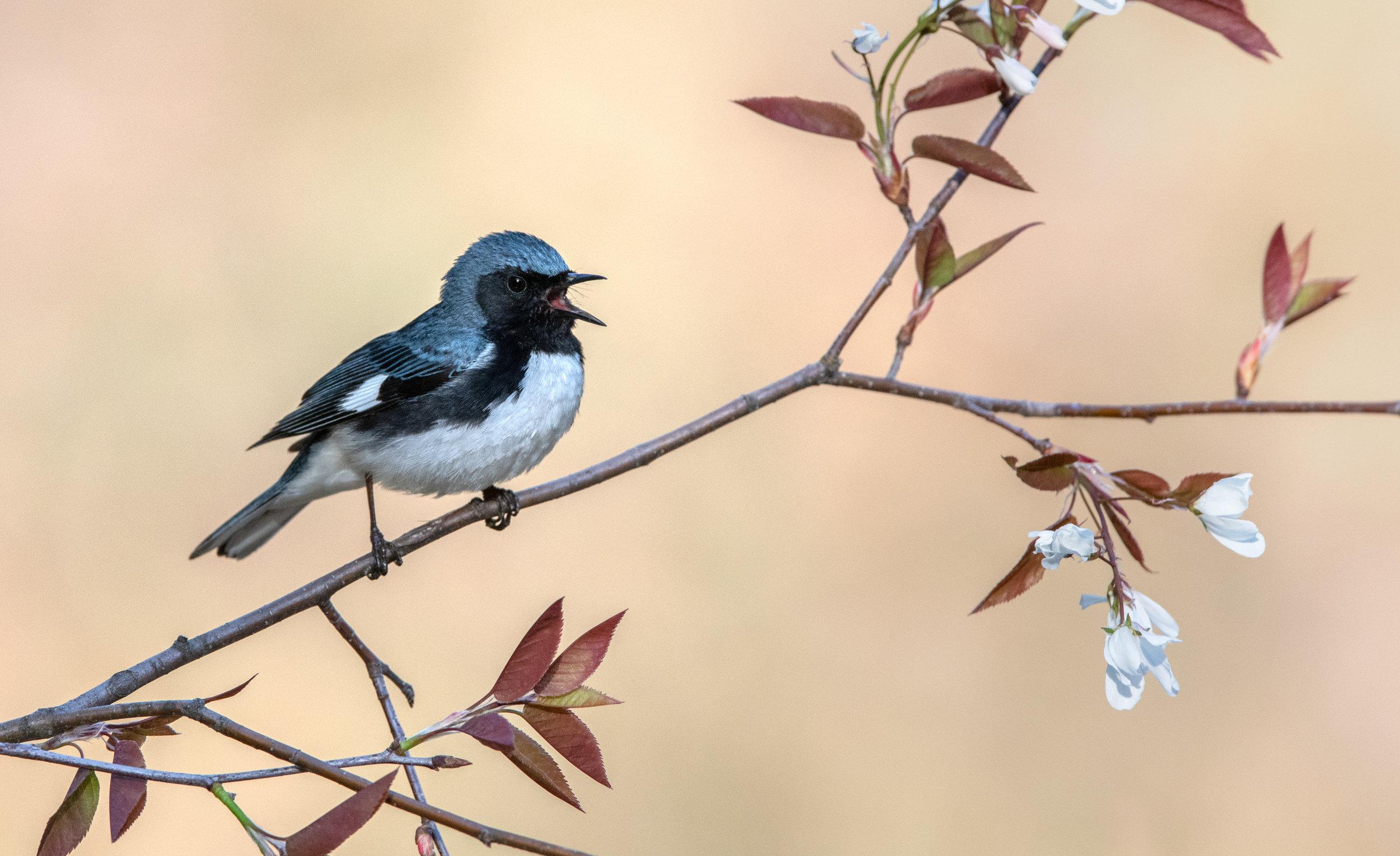 black-throated_blue_warbler_DSC_1982b.jpg