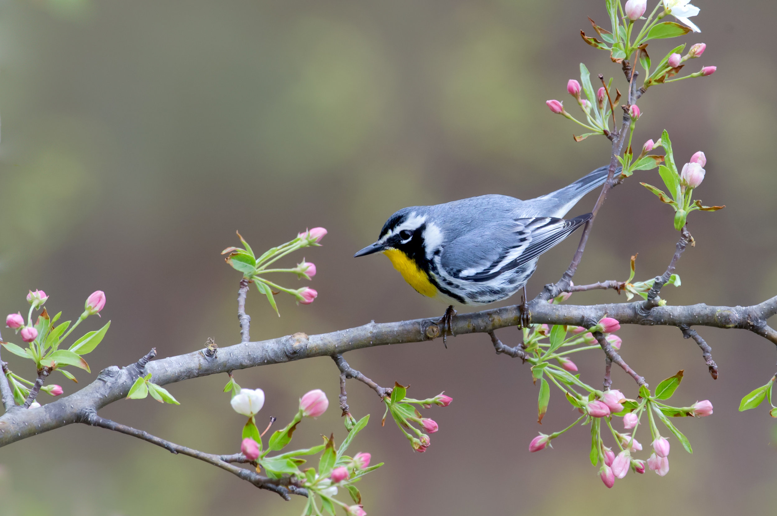 yellow-throated_warbler_AG3P2391c.jpg