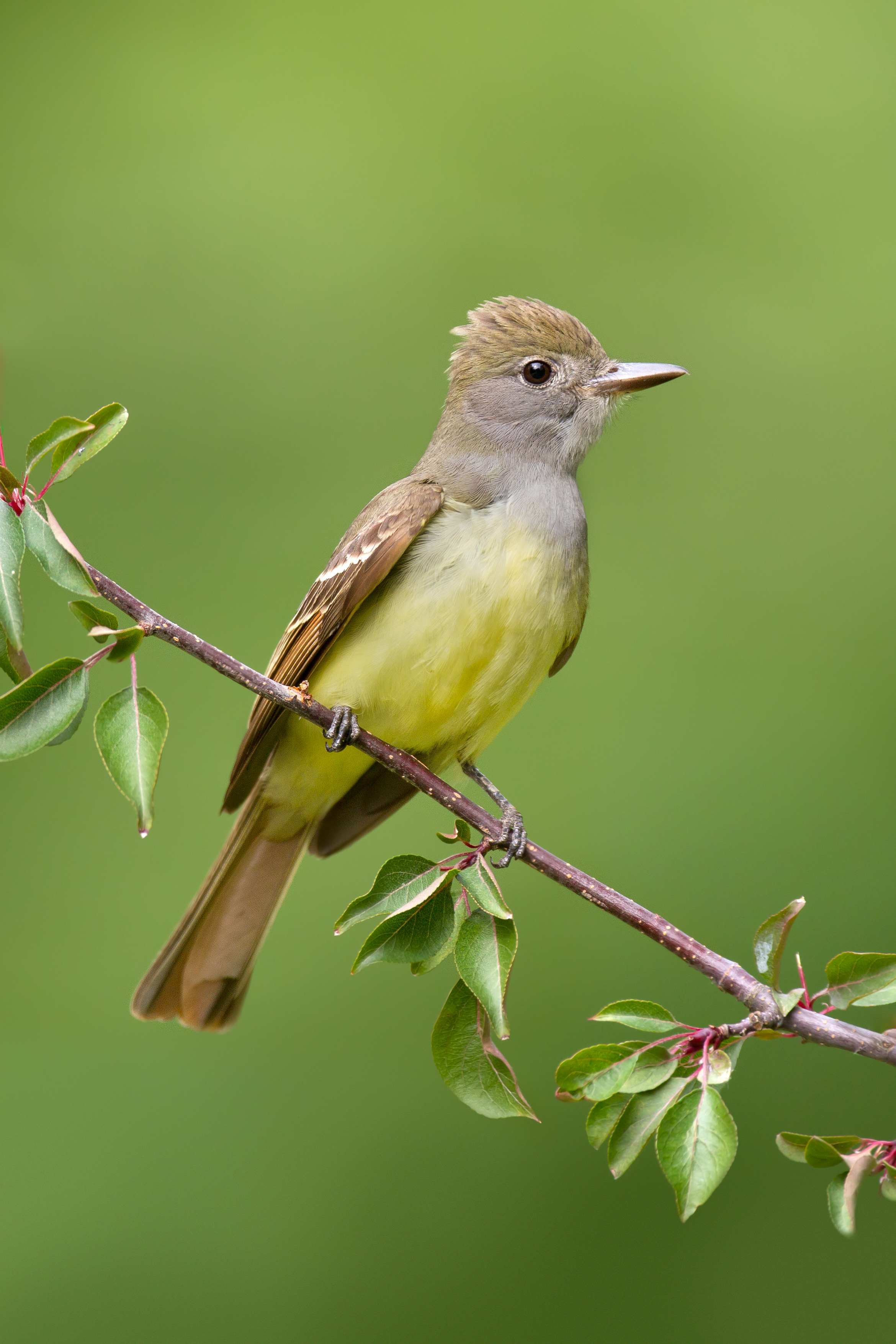 great-crested_flycatcher_USA_Ohio_00401845b.jpg