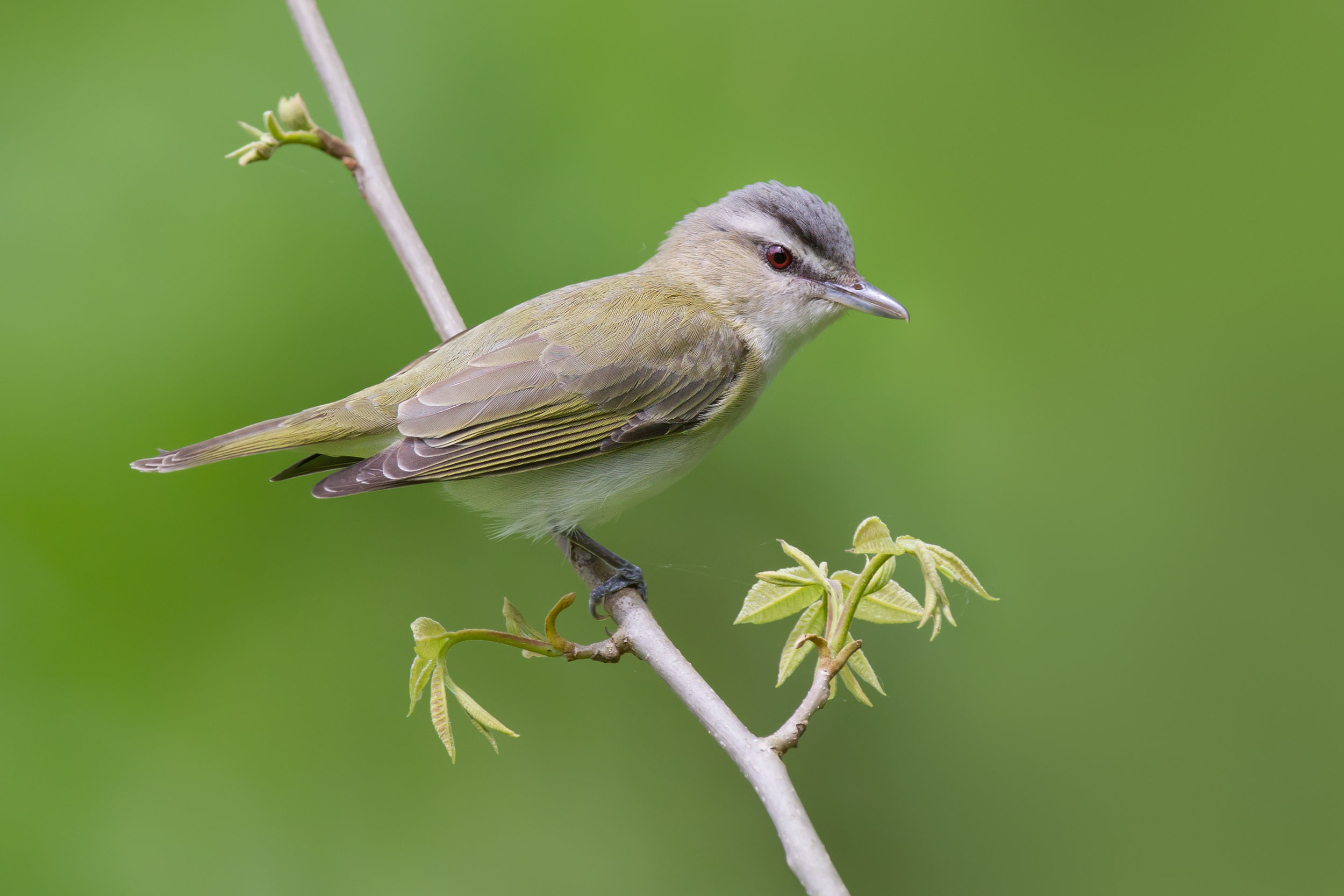 red-eyed_vireo_0385432b.jpg