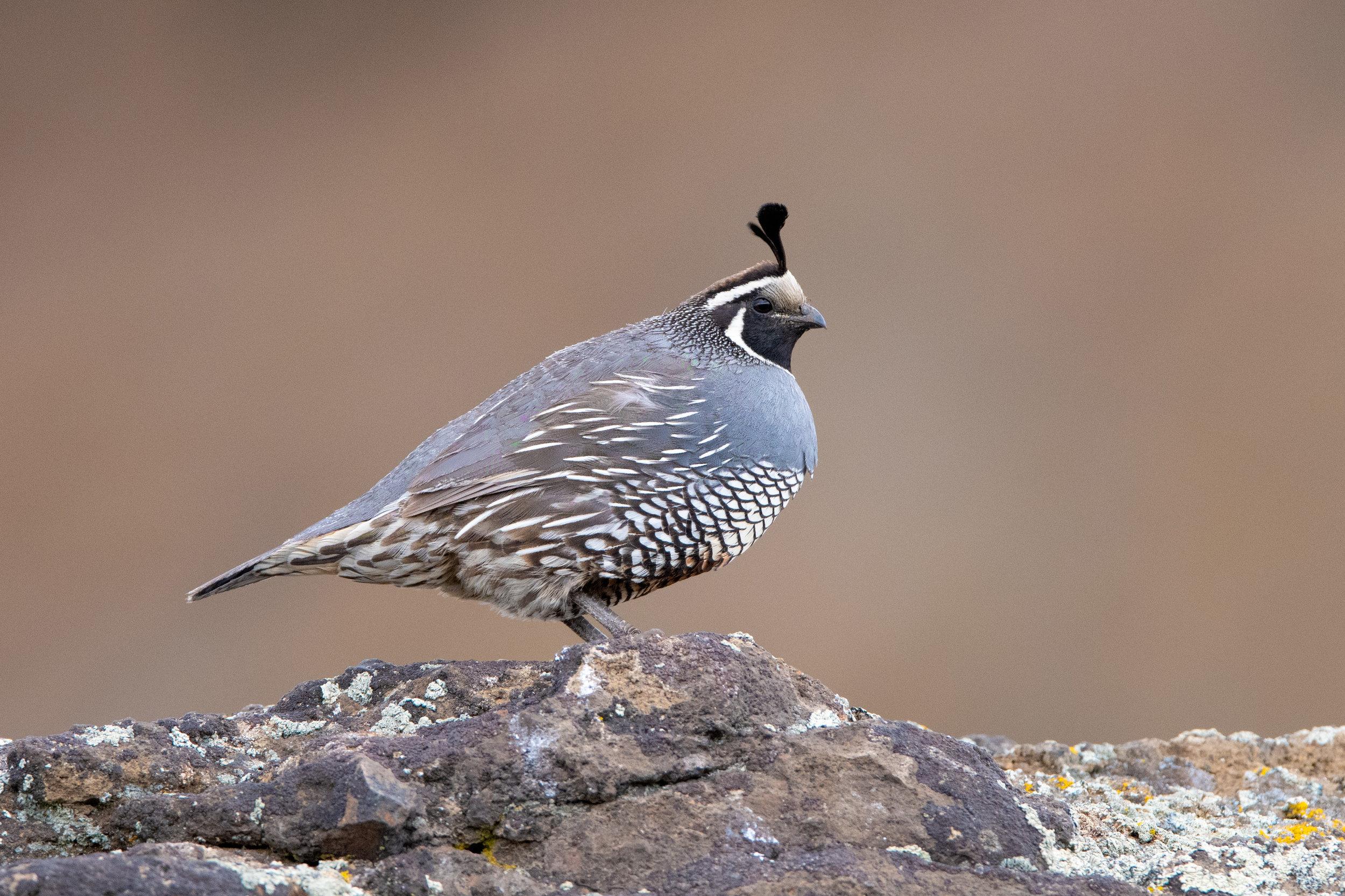 california_quail_0564b.jpg