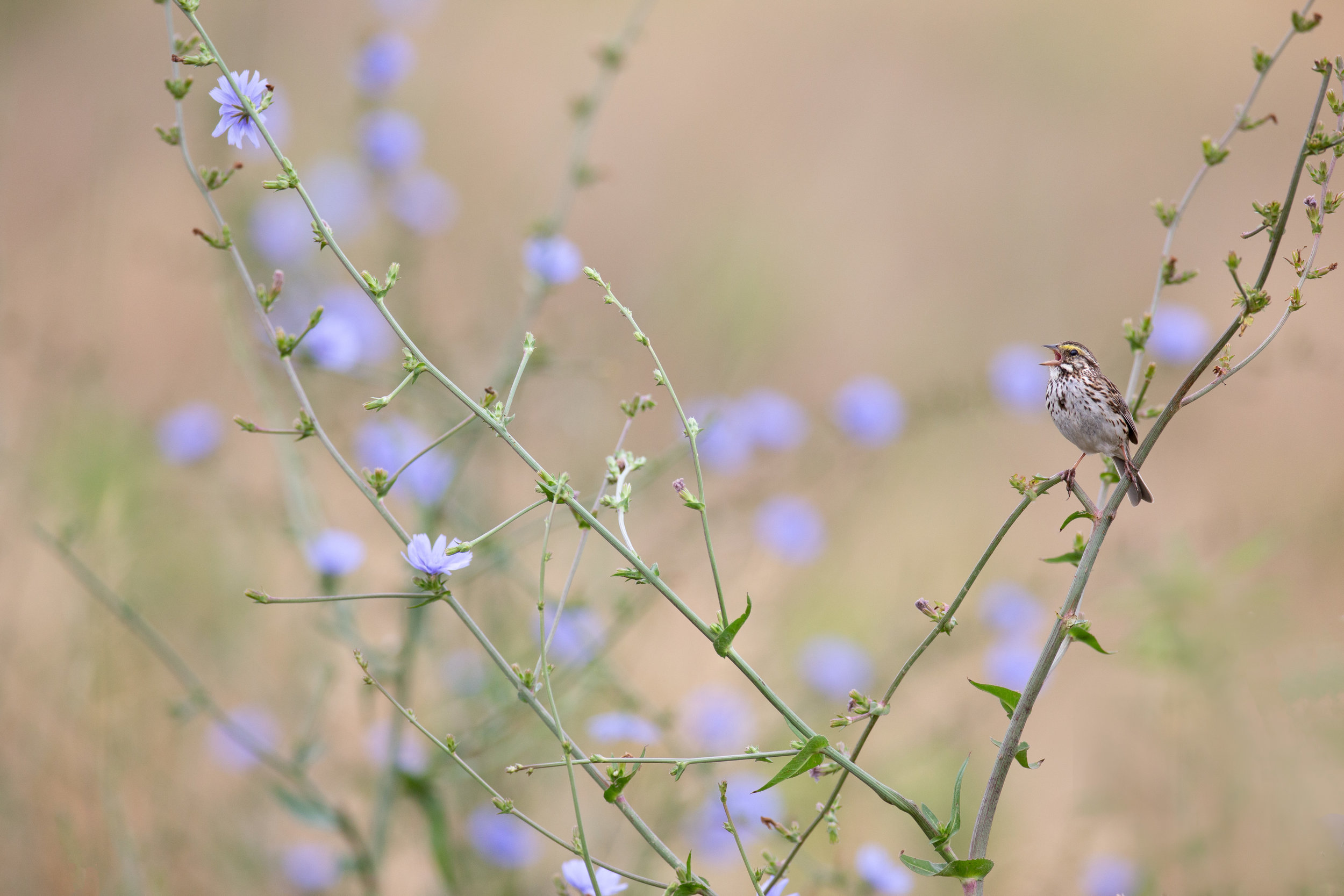 savannah_sparrow_7773-Editb.jpg