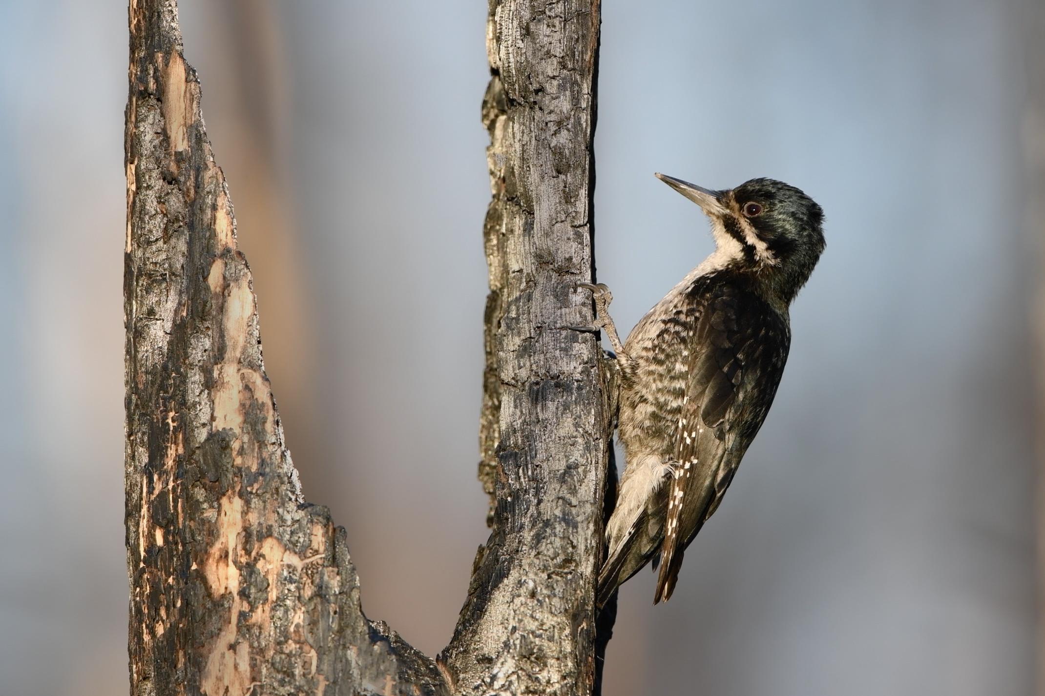 black-backed_woodpecker.jpg