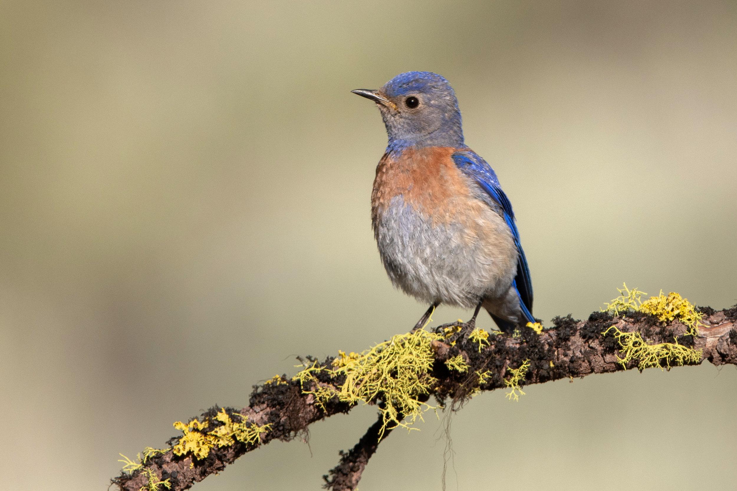 western_bluebird_1611b.jpg