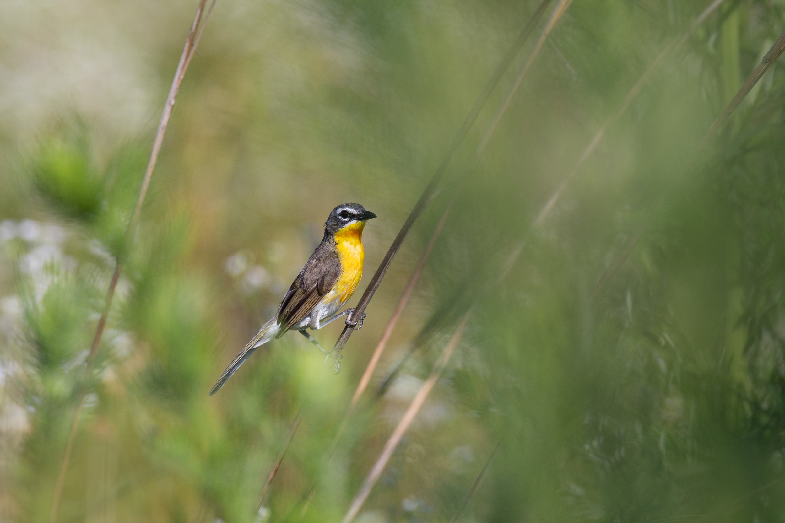 yellow-breasted_chat_8767b.jpg