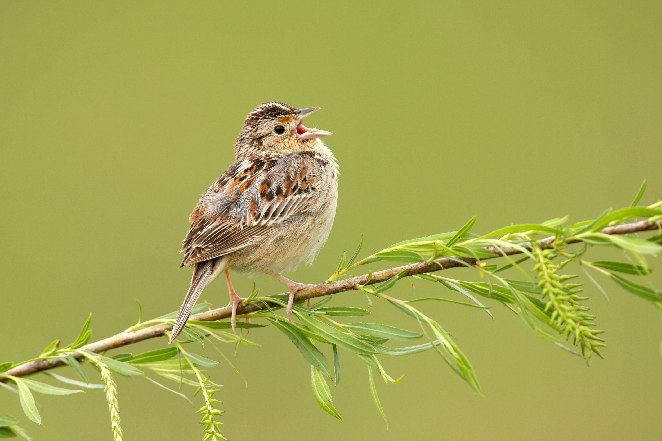 grasshopper_sparrow_0166017b.jpg