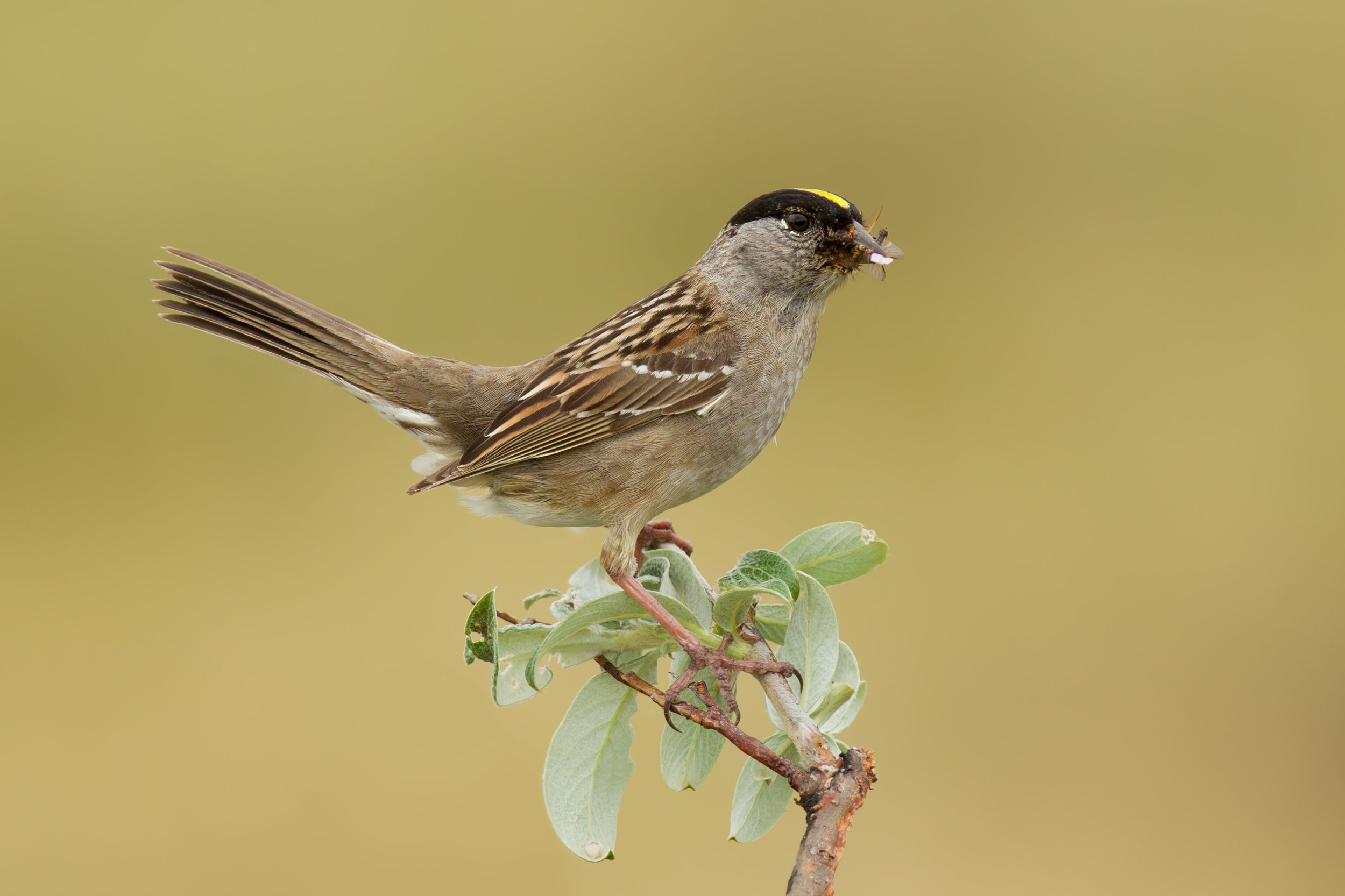 golden-crowned_sparrow_EI8C0328530b.jpg