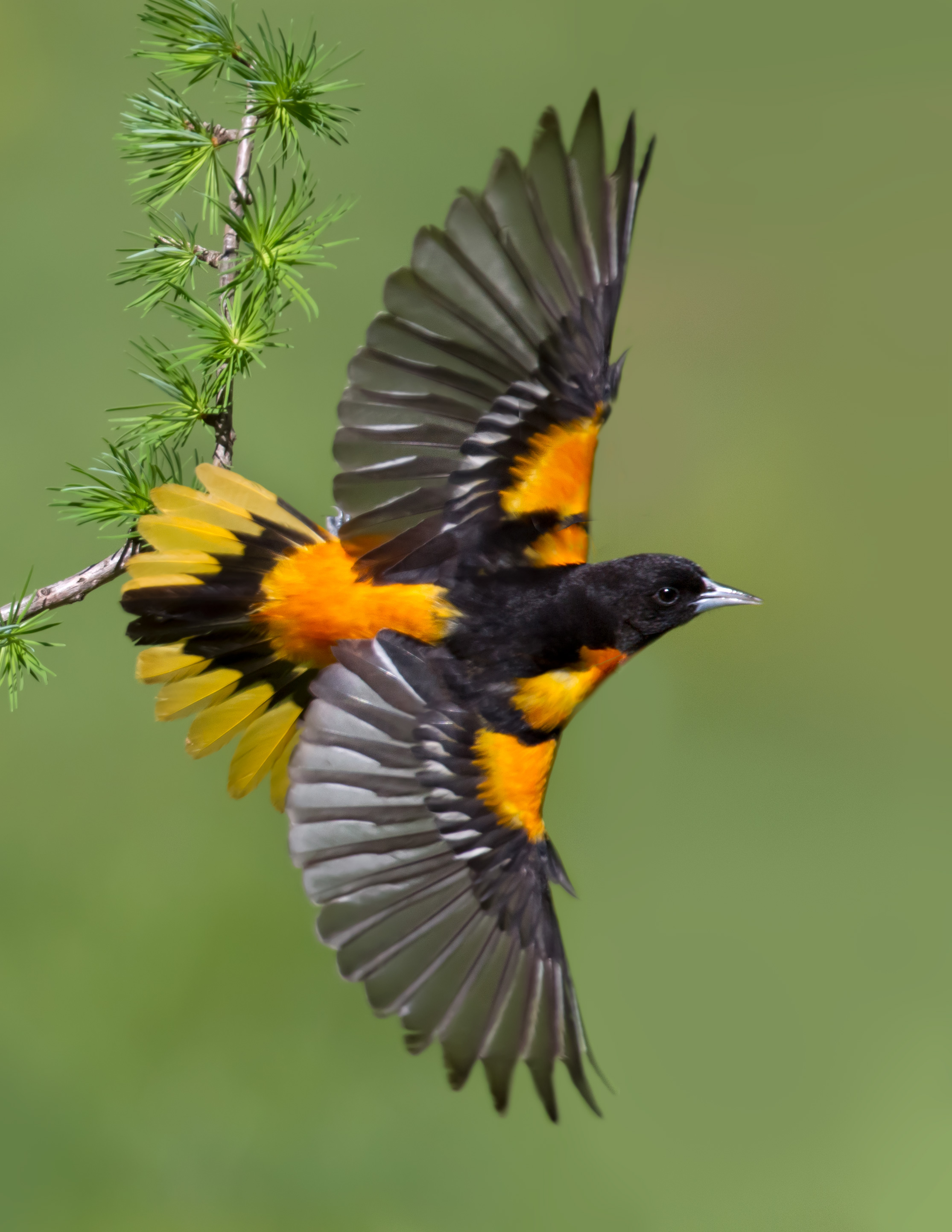 baltimore_oriole_AT0I4324b.jpg