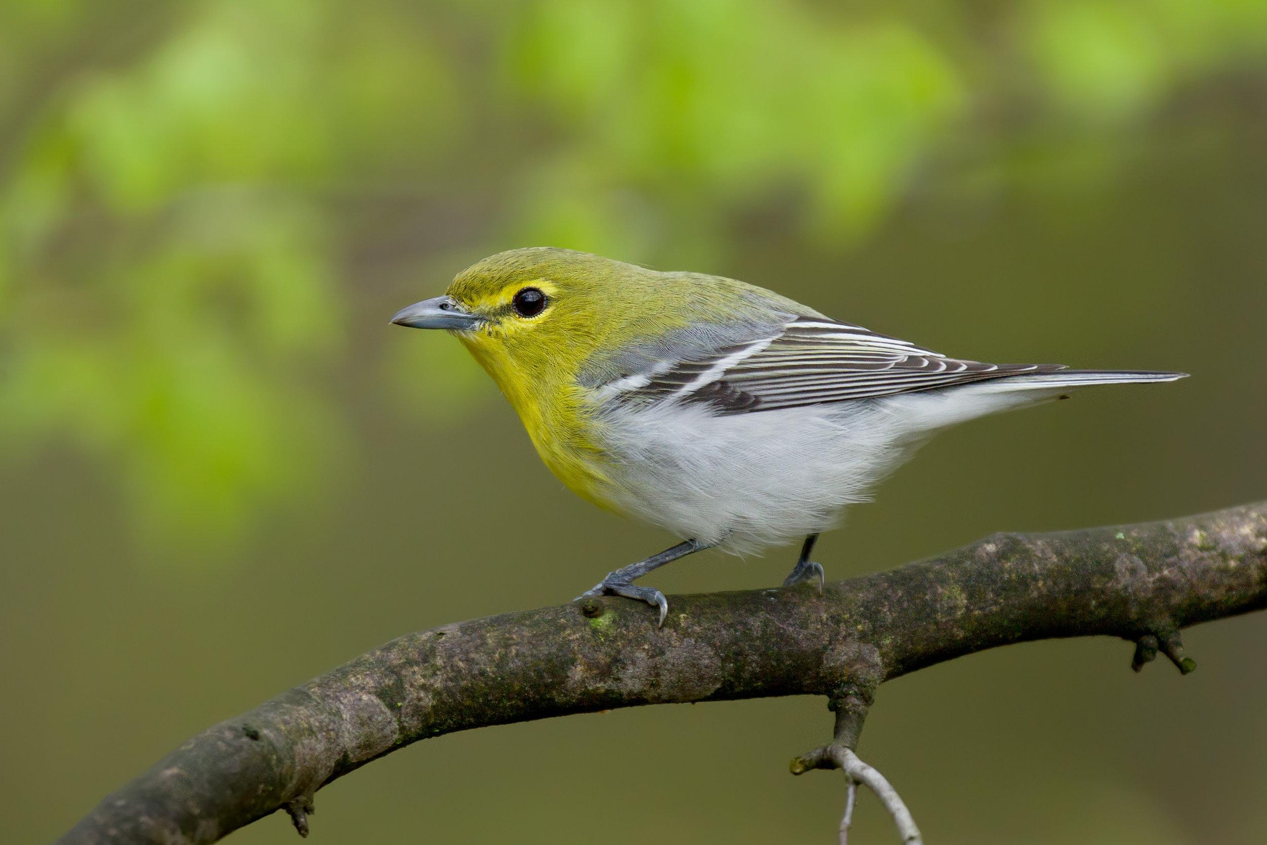 yellow-throated_vireo_EI8C0306229b.jpg