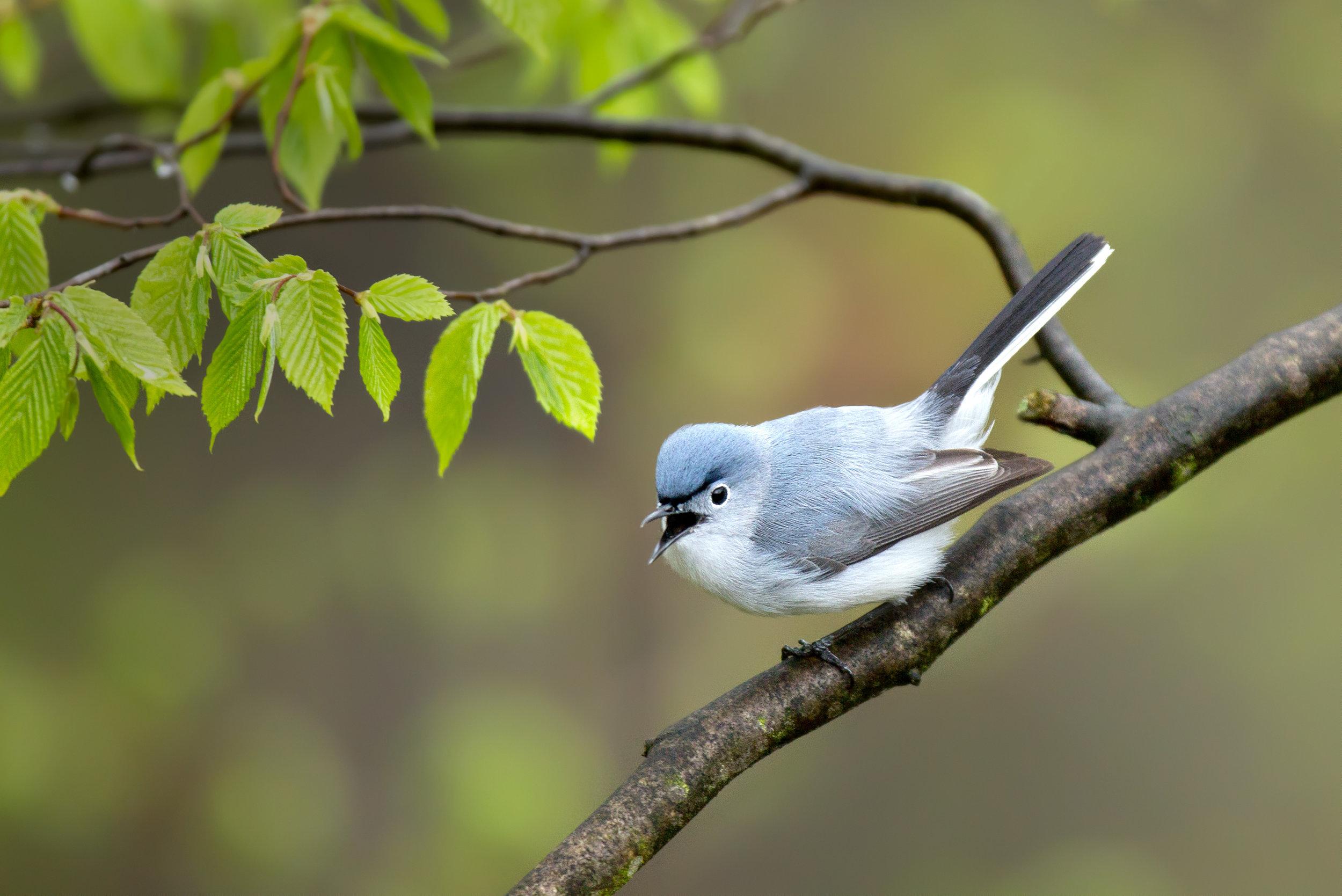blue-gray_gnatcher_EI8C6245b.jpg