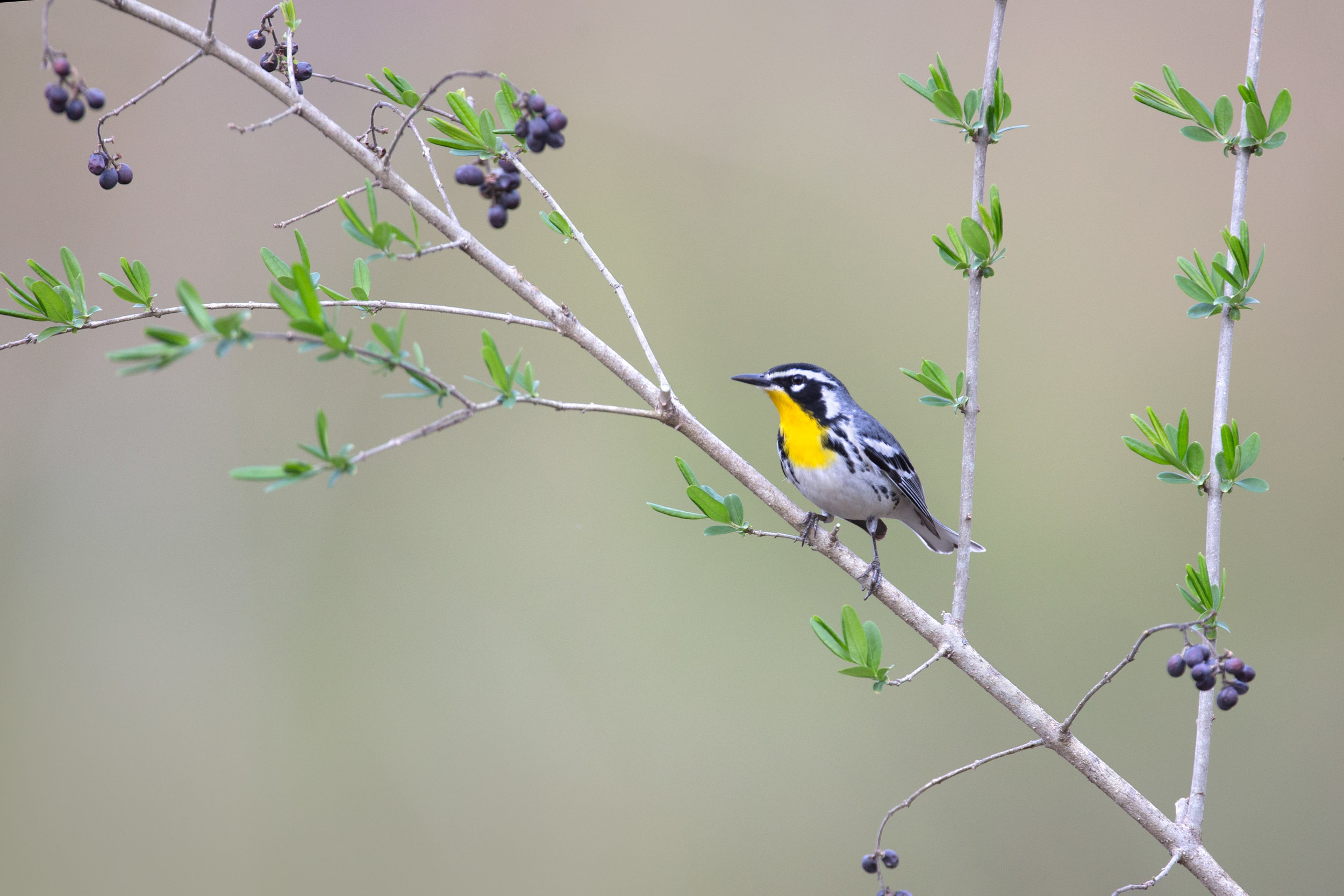 yellow-throated_warbler_AG3P7777c.jpg