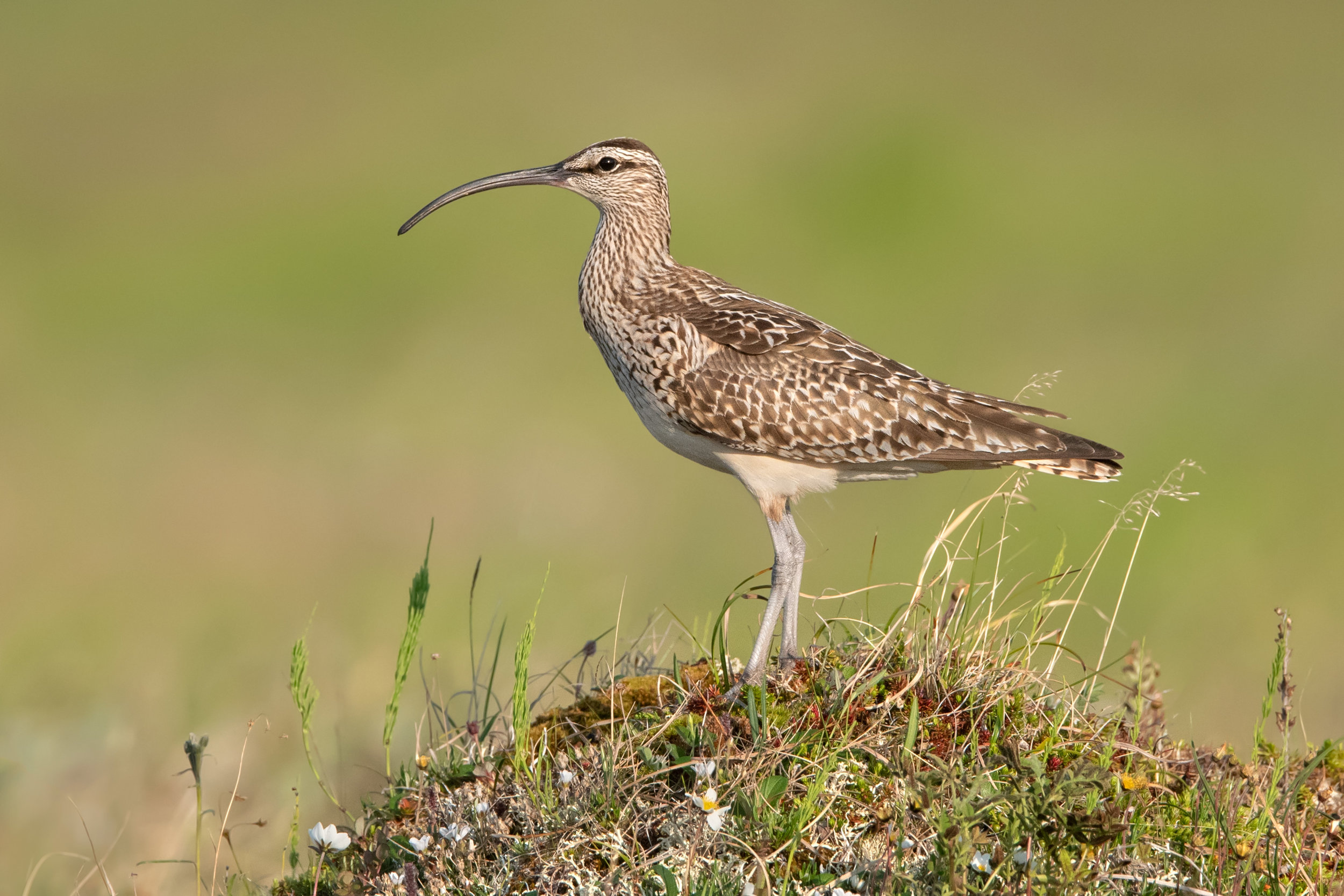 bristle-theighed_curlew_3241b.jpg