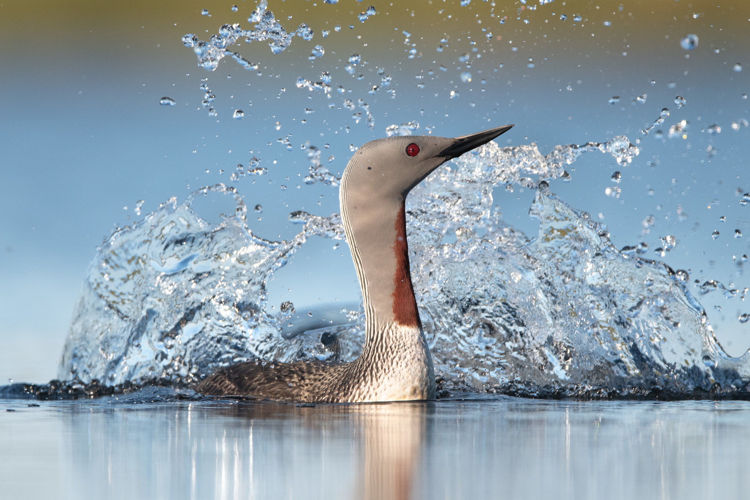 red-throated_loon_2648c.jpg