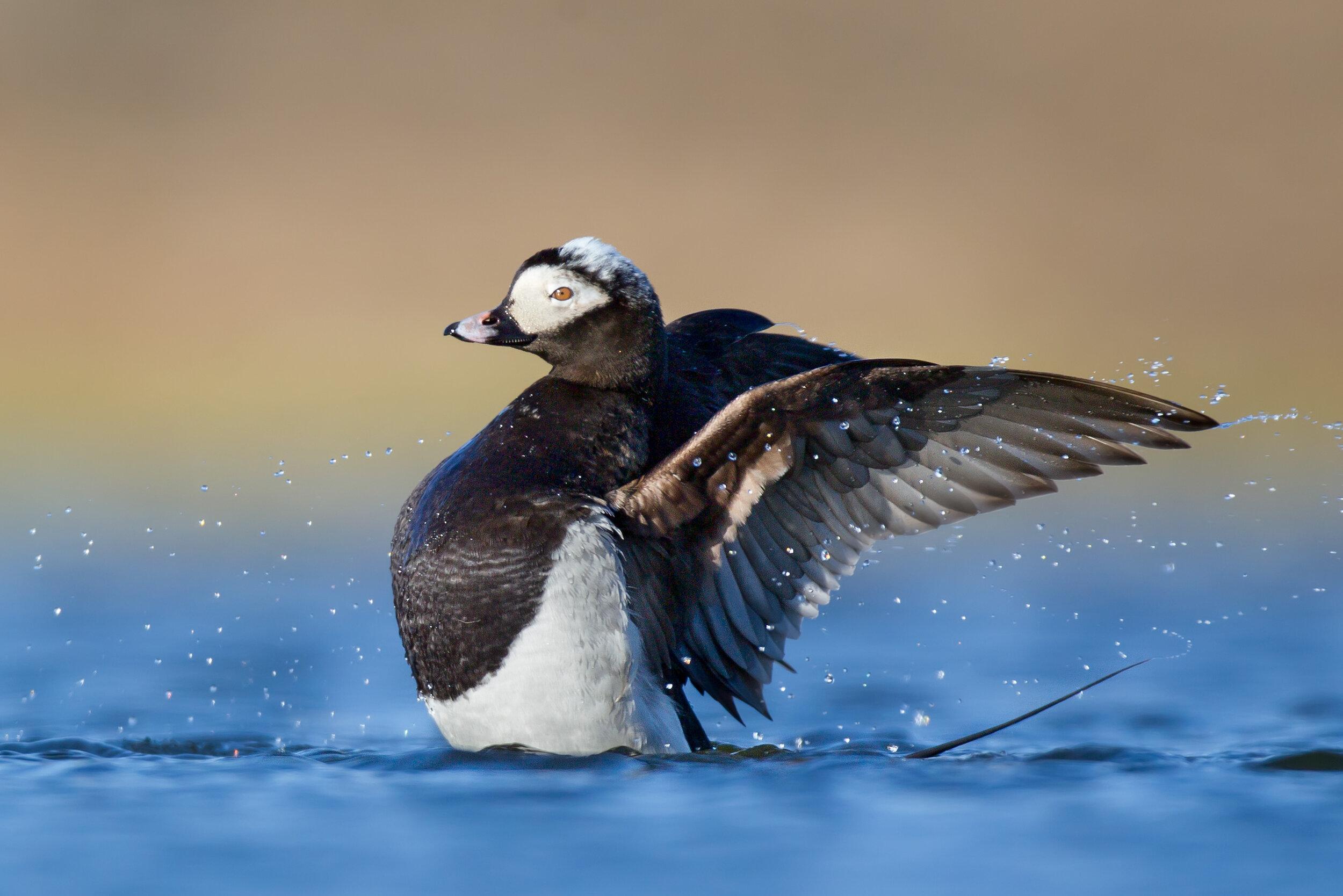 long-tailed_duck_00391931c.jpg