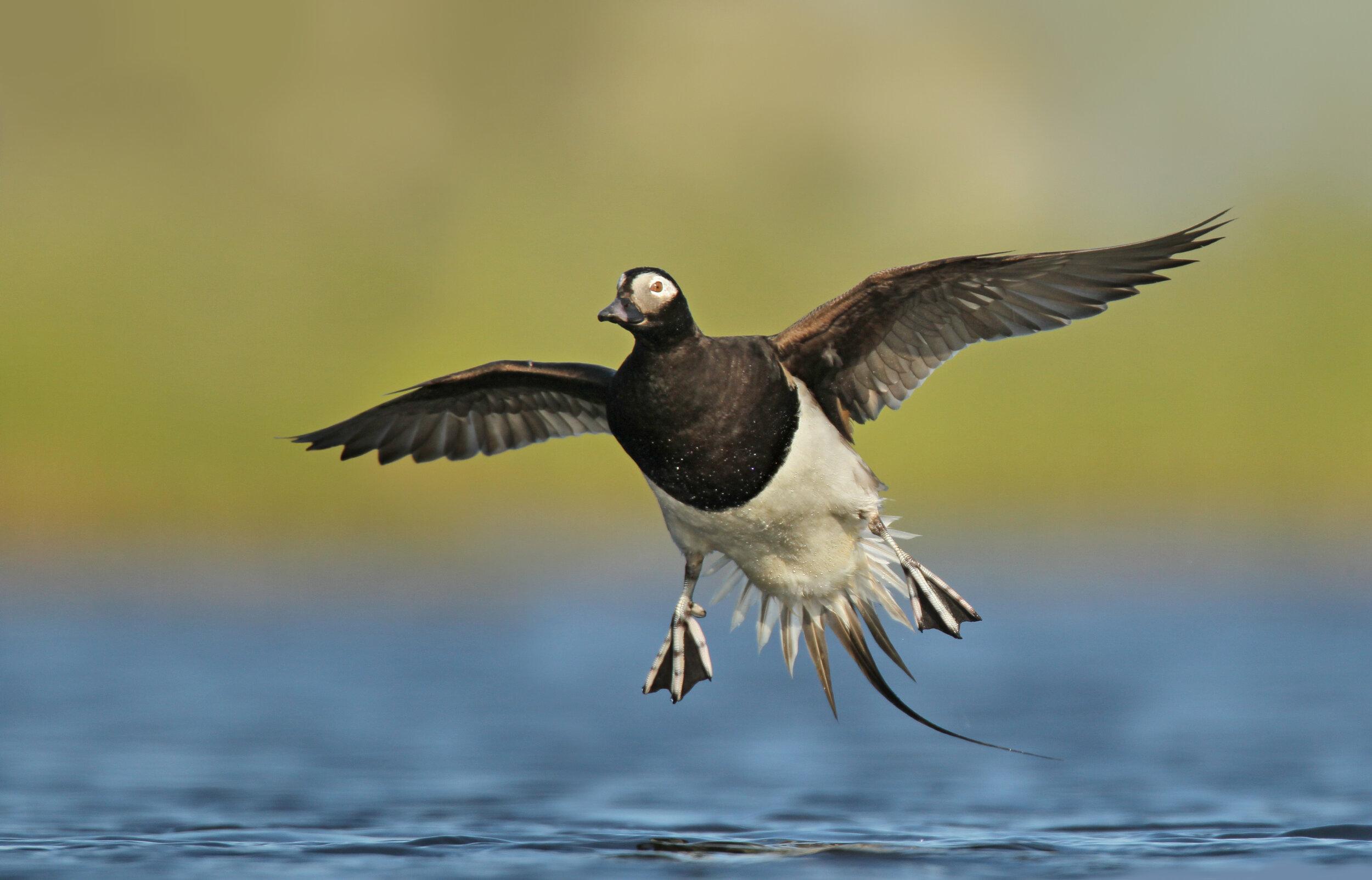 long-tailed_duck_EI8C0328618b.jpg