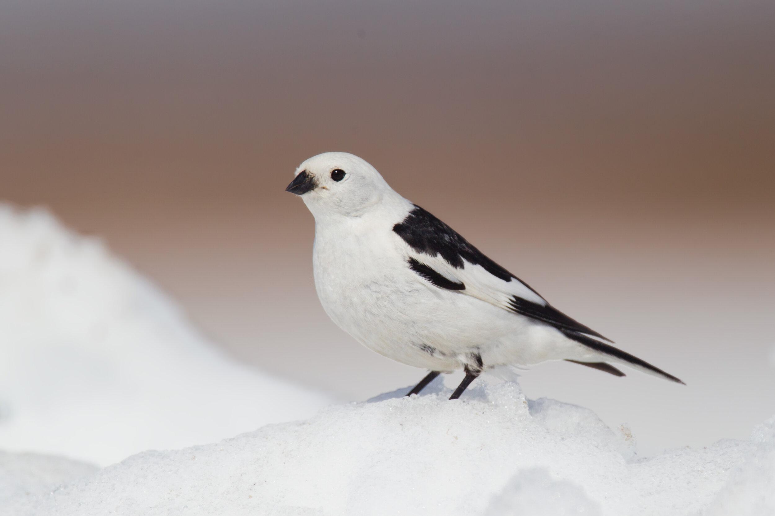 snow_bunting_EI8C0330990b.jpg