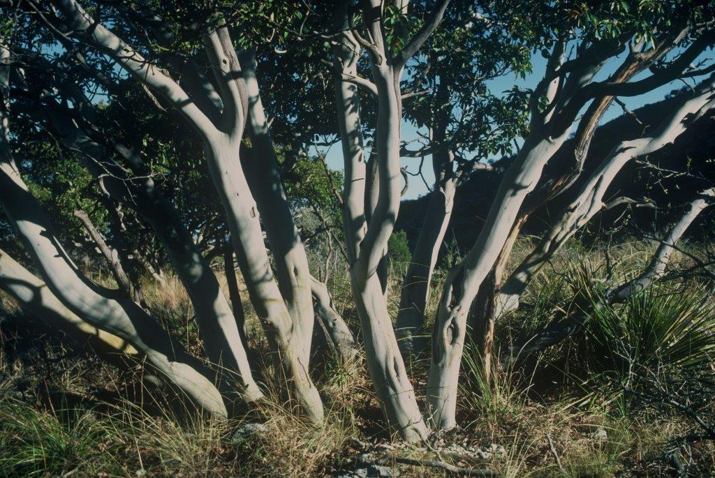 Arbutus xalapensis