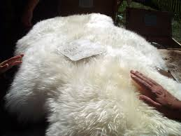 Sheep skin has that polished silk pearl white, with yellow undertones.
