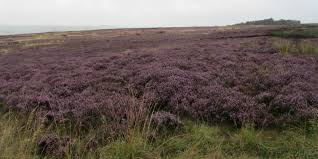 Natural Purple Grey, silver heather of the glen - stunning!