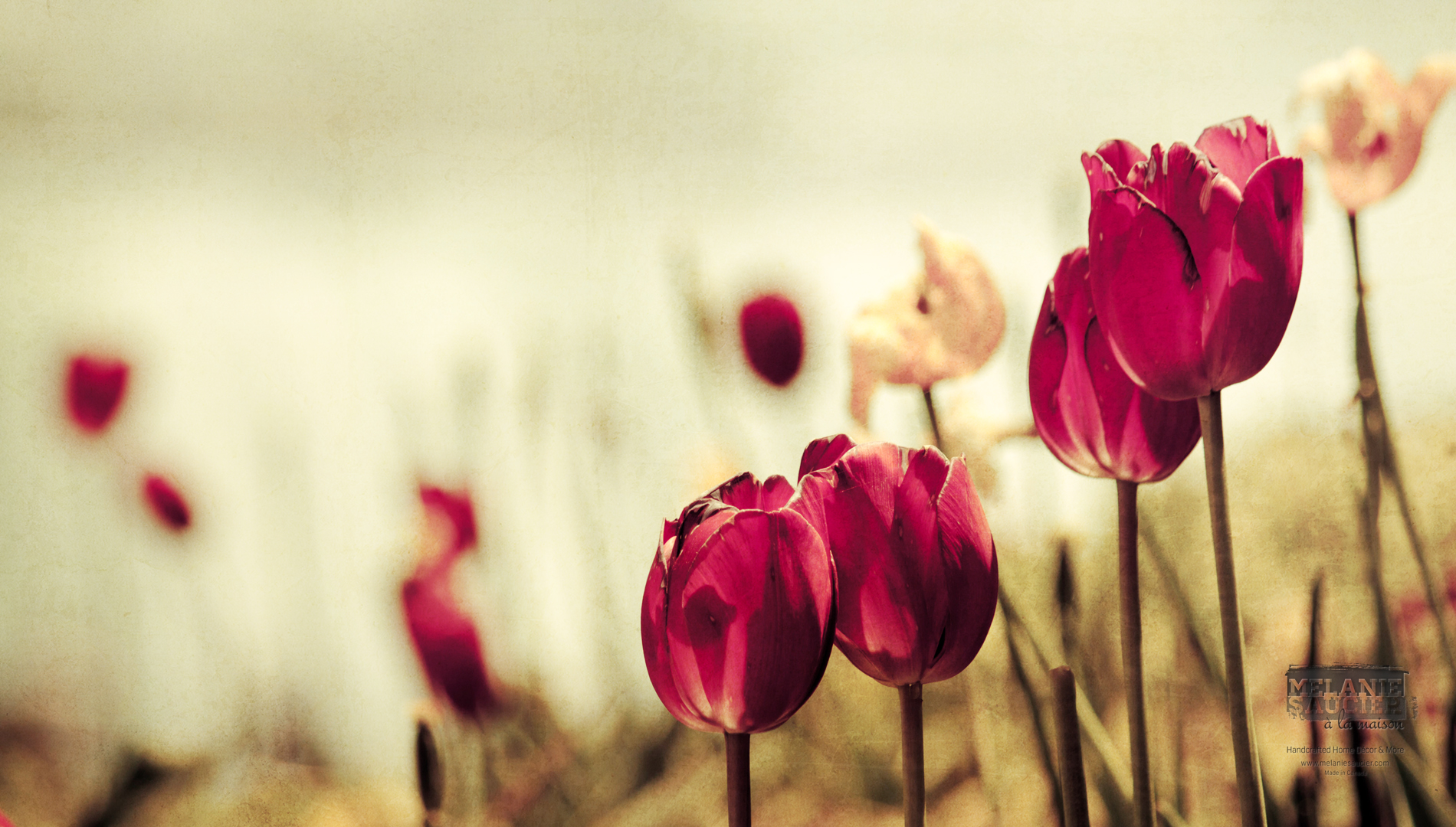 Tulipes_1900x1080